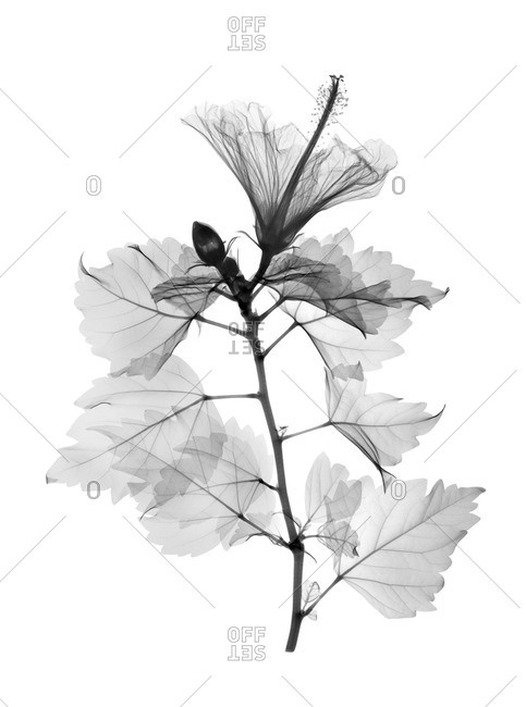 X-ray of single Hibiscus stem