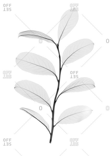 Yerba mate leaves (Ilex paraguariensis), X-ray.