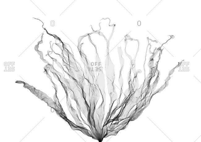 X-ray of Seaweed (Laminaria hyperborea).