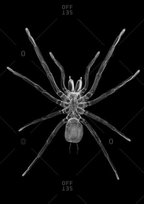 Tarantula spider (Grammostola rosea), X-ray.