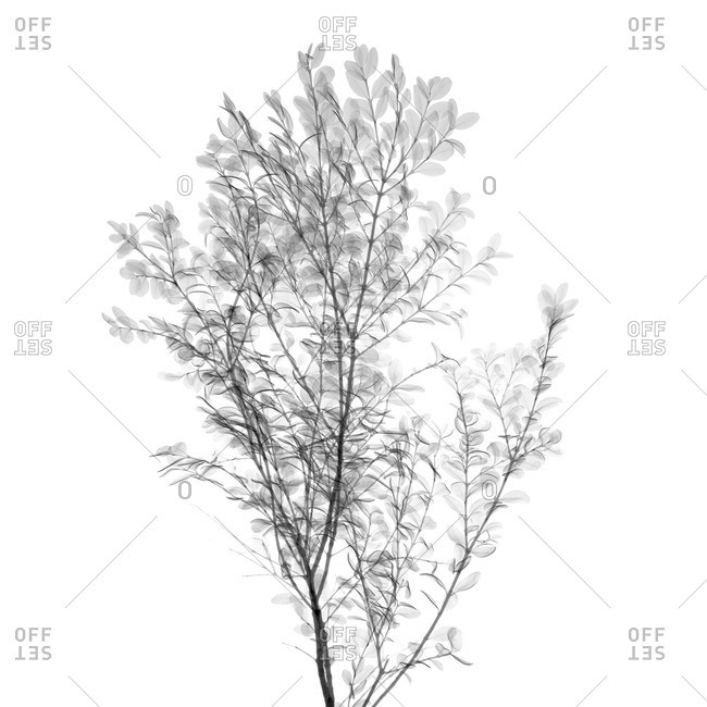 X-ray of a Viburnum shrub.