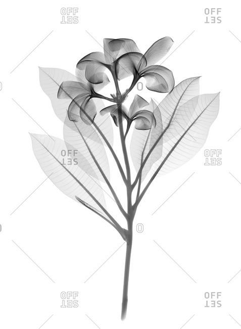 Frangipani plant (Plumeria sp.), X-ray.