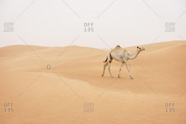A camel walking in the desert of the United Arab Emirates