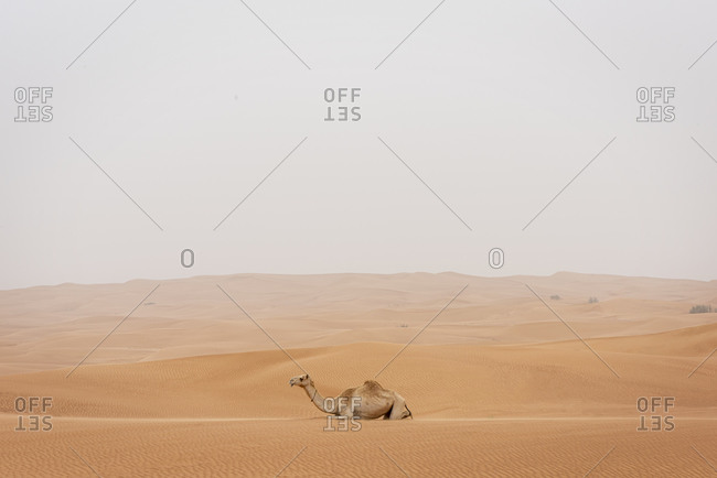 A camel resting in the desert of the United Arab Emirates