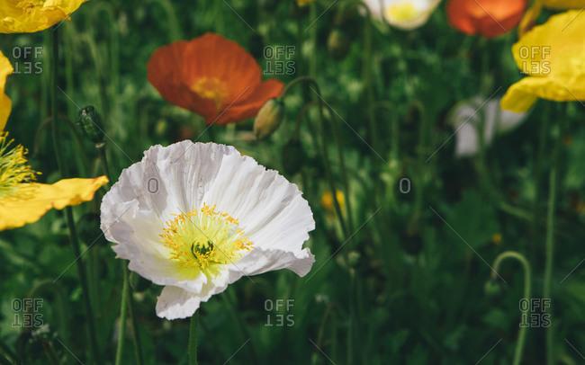 Corn poppy flower close-up shot