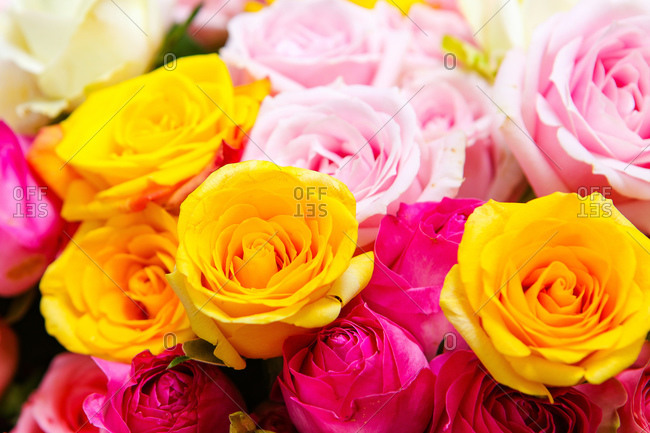 Colorful roses features close up shot