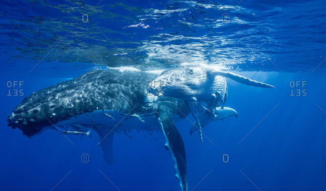 Humpback whales swimming, underwater view