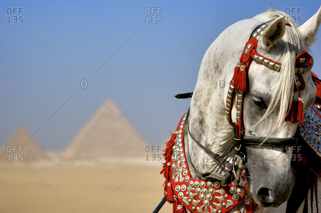 Arabian stallion by Giza, Cairo, Egypt