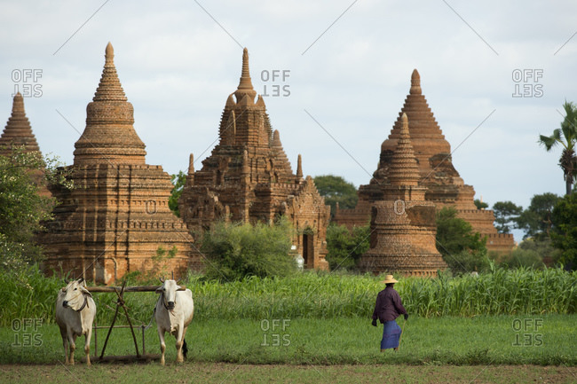 Farmer with cattle against backdrop of ancient pagodas, Bagan, Myanmar