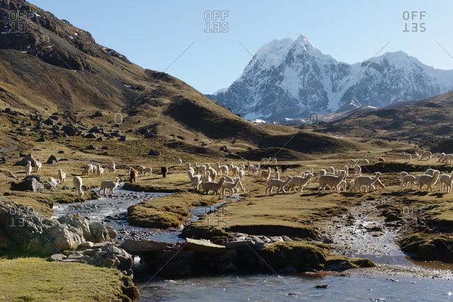 Llama, Ausangate, Willkanuta mountain range, Andes, Peru