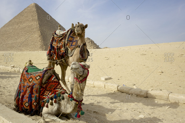 Two camels in front of the Pyramids of Giza, Egypt