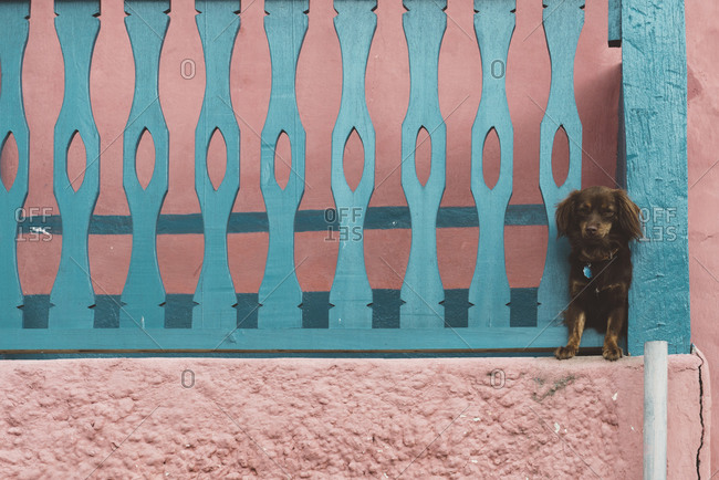 Dog watching from between balcony fence, Flores, Guatemala, Central America