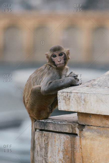 Portrait of Rhesus macaque at Monkey Temple near Jaipur, Rajasthan, India