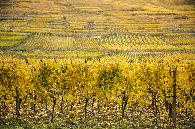 Autumn fields of vineyards on route des vins dAlsace, France