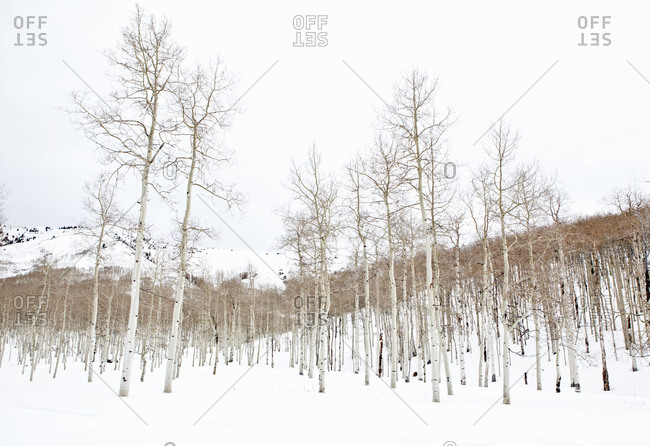 Forest of bare aspen trees in snowy landscape, Utah, USA