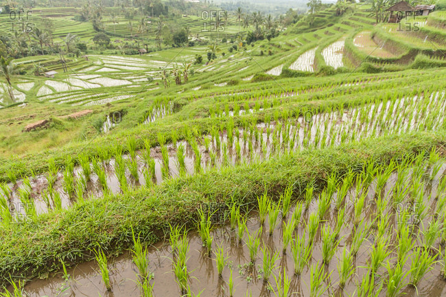 Rice growing on rice terraces of Ubud, Bali, Indonesia