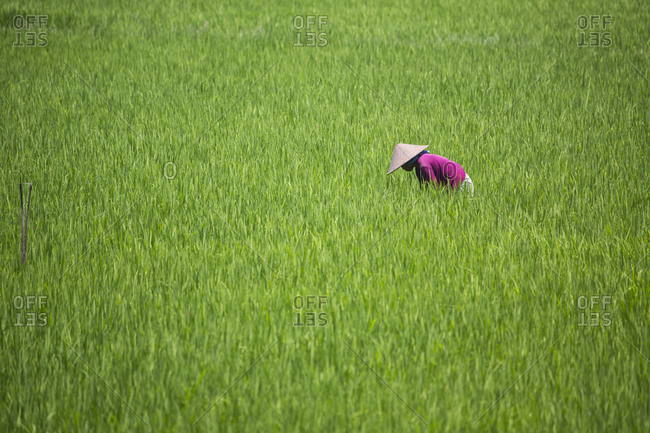 Female farmer working in paddy field, Lombok, Indonesia