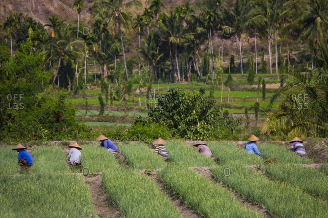 October 19, 2015: Farm workers tending garlic in field, Lombok, Indonesia