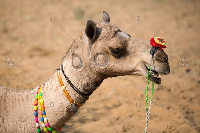 Portrait of camel wearing multicolored bead necklace at Pushkar Camel Fair, Pushkar, Rajasthan, India