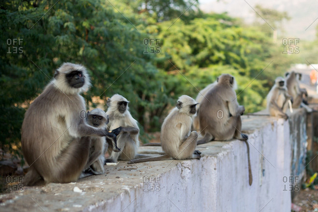 Gray langur or Chamba sacred langur (Semnopithecus ajax) monkeys sitting on wall, Pushkar, Rajasthan, India