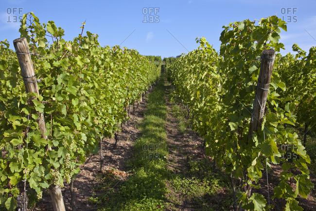Vineyard in Riquewihr, Alsace, France