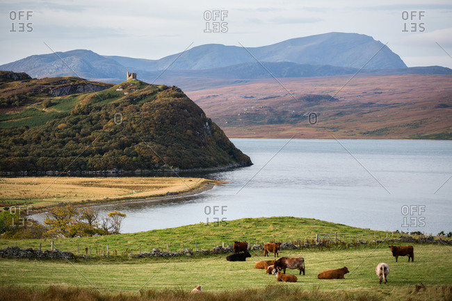 Herd of cows grazing by loch, Tongue, Scotland, UK