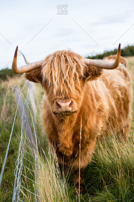 Portrait of highland cow, Tongue, Scotland, UK
