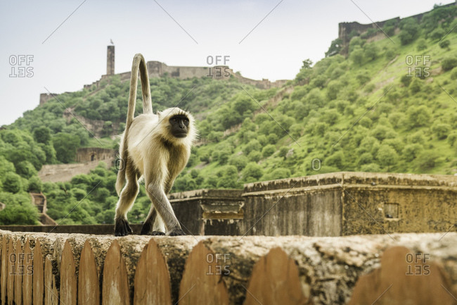 Monkey, Amber fort, Jaipur, Rajasthan, India