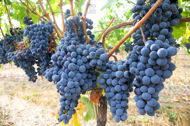 Wine grapes just before harvest, Osoyoos, British Columbia, Canada