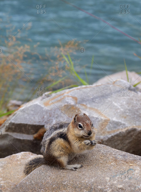 A chipmunk in Kootenay National park by Vermillion river and Numa falls in Canada