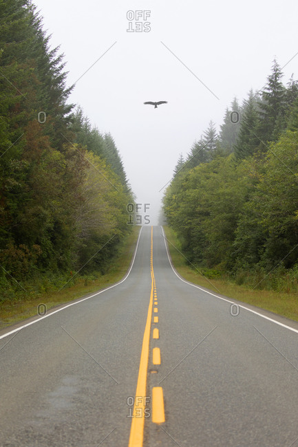 Raven flying along the northern highway near Port Hardy, Vancouver island, British Columbia, Canada