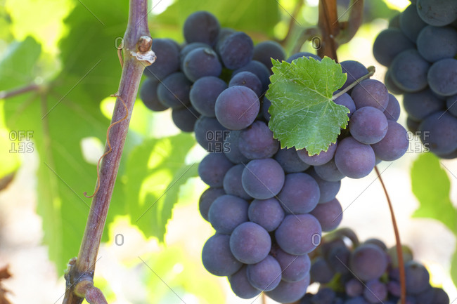 View of plump grapes in a vineyard in Osoyoos, British Columbia, Canada
