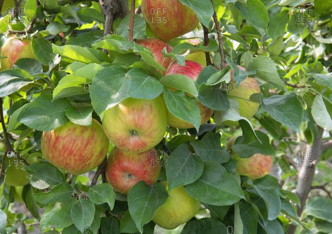 Apple grove in Osoyoos, British Columbia, Canada