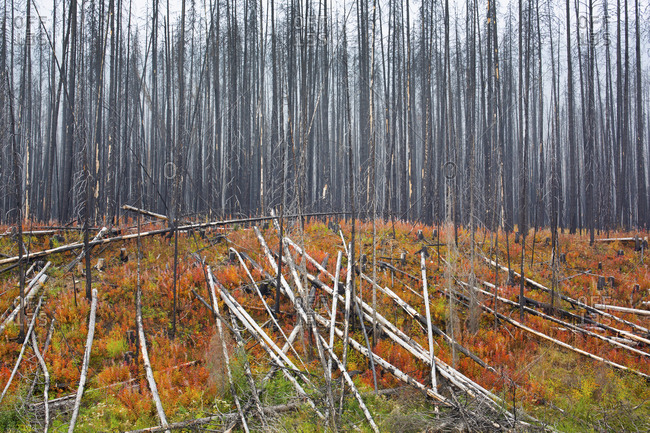 Aftermath of a forest fire one year later, Banff National Park, Alberta, Canada
