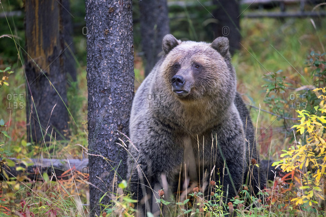 A female grizzly bear resting in the forest in Banff National Park, Alberta, Canada