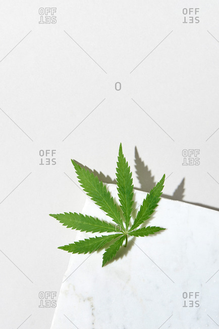 Fresh natural organic leaf of medical cannabis plant.