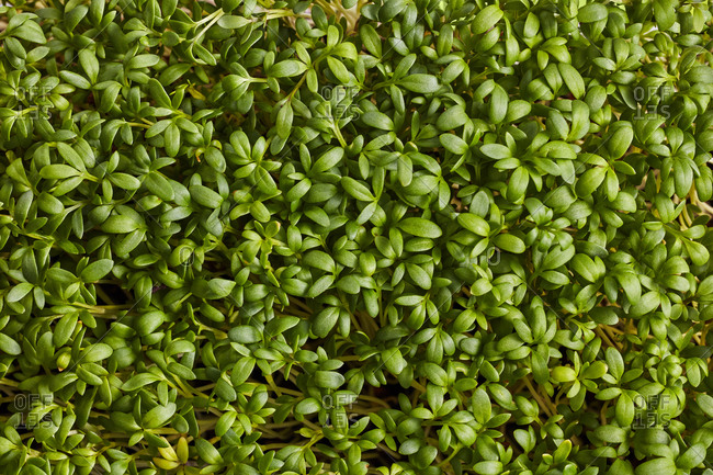 Background from fresh natural organic microgreen.