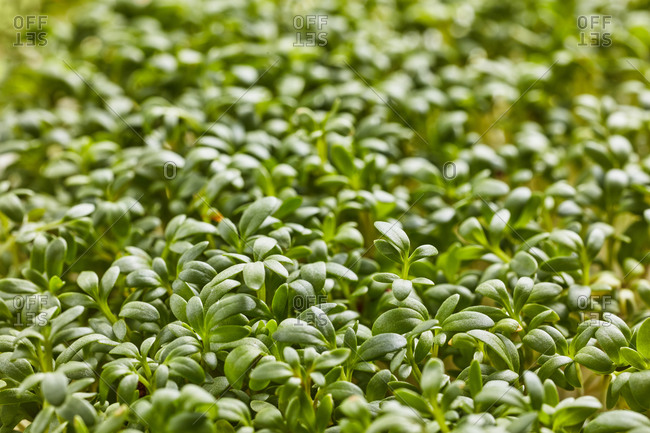 Closeup horizontal background from organic microgreen.