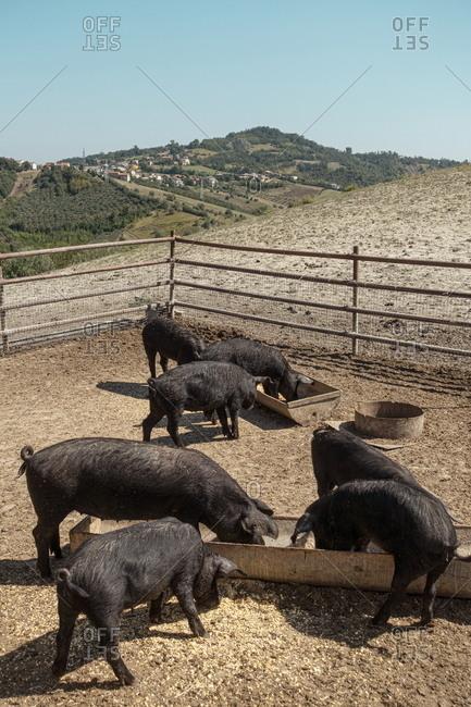 Boars on a farm in rural Abruzzo, Italy