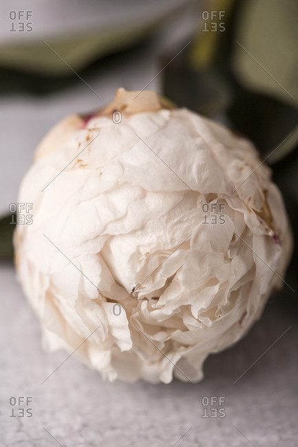 A light beige fresh peony flower close up