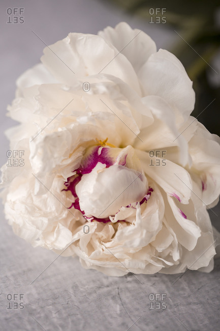 Close up of a light beige fresh peony flower close up
