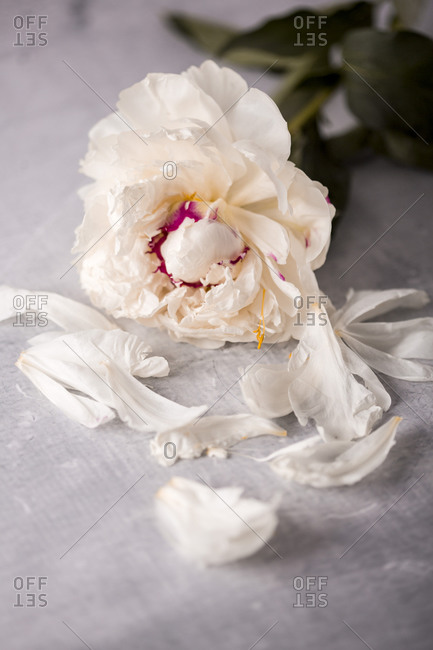 A light beige fresh peony flower and petals on a table close up