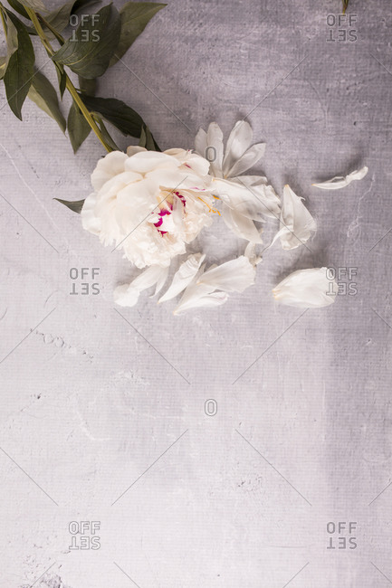 Overhead view of a light beige fresh peony flower and petals on a table with copy space