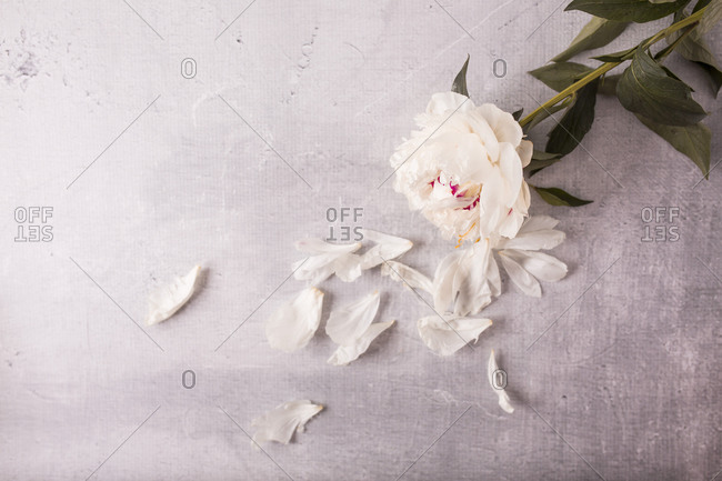 Top view of a light beige fresh peony flower and petals on a table with copy space