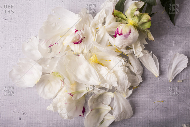 Fresh peony flowers and petals on the gray surface