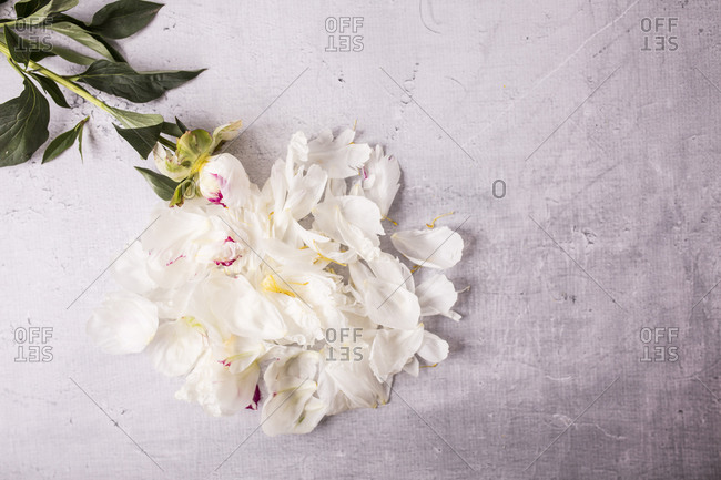 Light beige fresh peony flowers and petals on gray surface