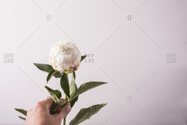 Hand holding a single fresh peony flower in front of a light background