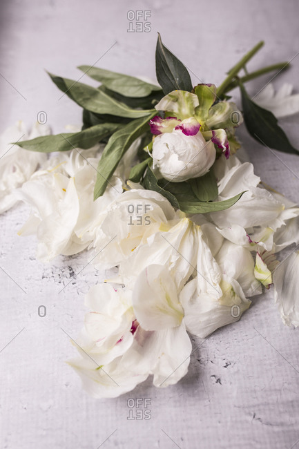 Peony flowers and petals on the gray surface