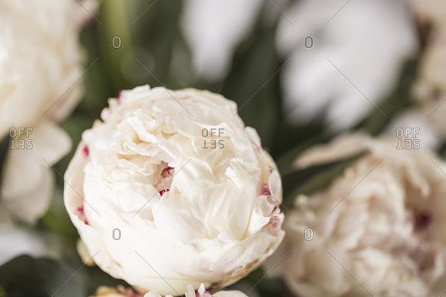 Light beige fresh peony flowers close up