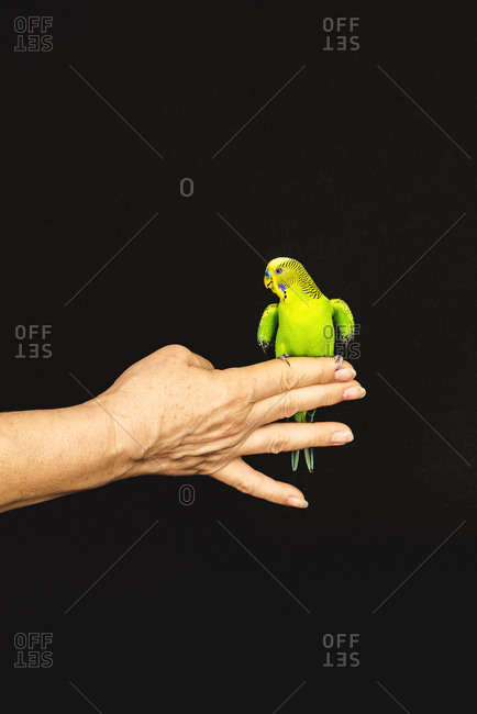 Unrecognizable female with green little parrot sitting on hand on black background in studio